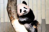 Pandababy Xiang Xiang bekommt seit Dienstag viel Besuch