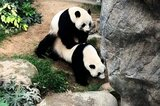 Le Le und Ying Ying bei der Paarung