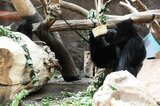 Gorilla in Zoo in Prag