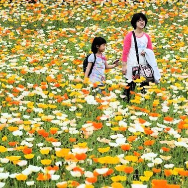 In einer bunten Blumenwiese sind diese Japanier in einem Park in Tokio unterwegs. Zurzeit herrschen in Japan Frhlingsferien - Blumen betrachten steht dabei traditionell hoch im Kurs.