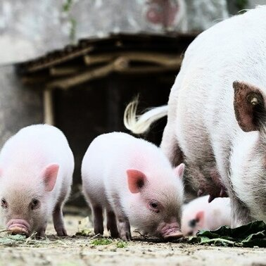 Mini-Pig-Kinder schnffeln im Zoo Hannover in ihrem Gehege nach etwas zu fressen. Zehn Mini-Schweinchen, acht Mdchen und zwei Jungen, kamen am 6. April zur Welt und haben die erste Zeit mit Mutter Marianne im Stall verbracht. Mini-Schweinchen sind kleinwchsige Hausschweine, die ausgewachsen etwa 50 Zentimeter hoch und 100 Zentimeter lang werden knnen.